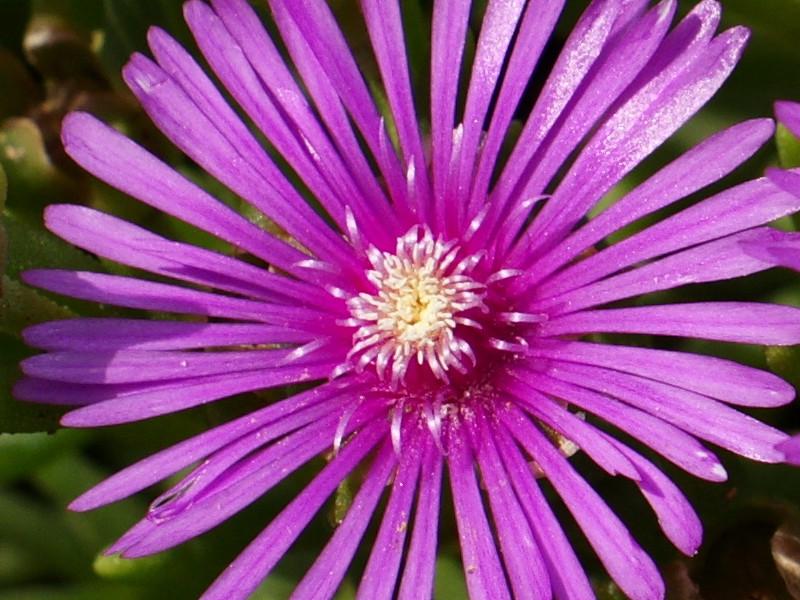 южноафриканский цветок, содержащий ДМТ